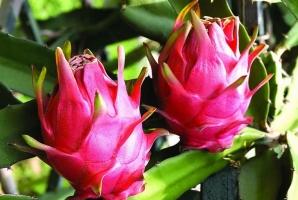 火龙果的种植方法:喜温暖潮湿,光照充足的环境