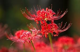 石蒜花的种植方法