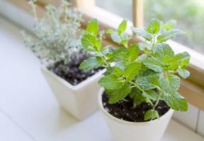如何种植香草植物(家庭篇)