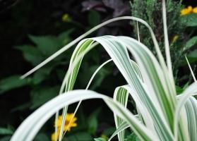 丽蚌草的养殖方法及注意事项