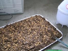小麦草家庭种植方法:手把手教大家种植小麦草