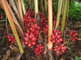草果的栽培方法:种子繁殖以秋播较好,分株在春季新芽萌发进行