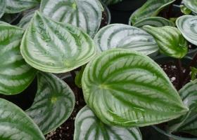 如何栽培西瓜皮椒草:喜高温、湿润、半阴及空气湿度较高的环境