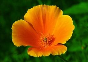 如何栽培管理花菱草:喜干燥的环境,开花前进行两次摘心
