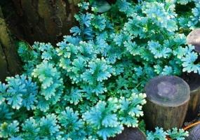 翠云草的养护方法:生长期保持较高的空气湿度,冬季温度不可低于5℃