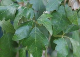 菱叶粉藤的养殖方法:菱叶粉藤生长期应保证水分的充足供应