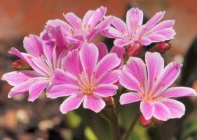 露薇花从播种到开花全过程展示(附图)