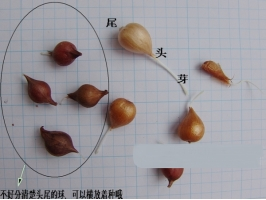 酢浆草提前发芽怎么办:球体较大的情况下可等到秋季再种