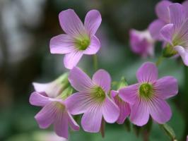 红花酢浆草的花期:花期在每年的10月至次年2-3月份