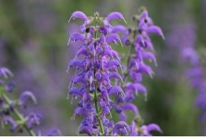 怎样栽培鼠尾草:喜日照充足、通风良好的环境
