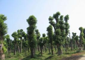香樟树值钱吗:未来一段时间内香樟价格有上涨趋势