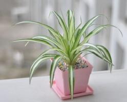 盘点10种适合室内养的植物(附图),吊兰竟然排第一