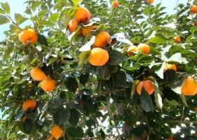 柿子树的种植方法:喜温暖,阳光充足的环境