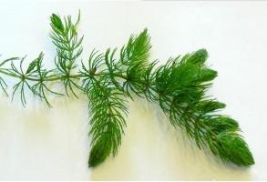 金鱼藻是什么植物:是一种沉水性多年生水草
