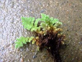满江红是what植物:满景红是一年生草本蕨类植物