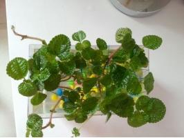吸毒草可以水培吗