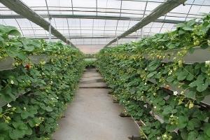 大棚草莓种植技术:大棚草莓栽培容易,生产成本低,收益好