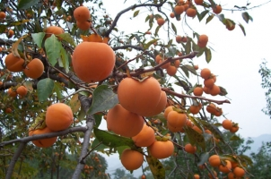 柿子树几年结果:一般嫁接后3~4年开始结果,15年后达盛果期