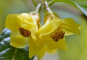 金花茶的品种:28种为常见的金花茶品种(附图)