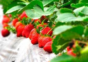 草莓立体栽培的方法:五种立体栽培方法,任你选择