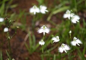 白鹭花的资料