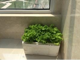 适合阳台种植的8种蔬菜:总有一款适合你