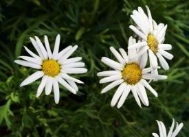 玛格丽特花的养殖方法:喜凉爽、湿润的环境