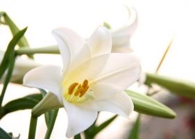 香水百合的养殖方法及注意事项:不同生长期对光照强度有不同的要求