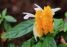 金苞花衣花的资料:即金苞花,其花期长,观赏价值高