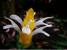 金苞虾衣花的花期:只要温度适宜,一年四季均可开花