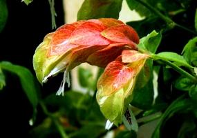 虾衣花的花期:自然花期在6月份左右