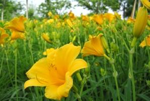 金娃娃萱草的养殖方法及注意事项:喜湿润、阳光充足的环境