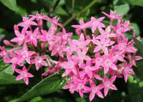 繁星花的养殖方法及注意事项:喜高温、阳光充足的环境