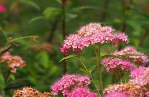 夕雾的资料:花香淡雅,是漂亮迷人的室内盆栽花卉