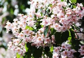 楸树的养殖方法及注意事项:喜光,较耐寒,不耐干旱,积水