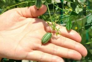 佩普基诺的资料:是一种迷你西瓜,野生果来自南美洲