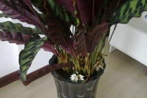 紫背竹芋的养殖方法及注意事项:喜湿润的生长环境,忌暴晒