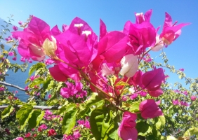 三角梅的栽培方法:日照要长、光照要强