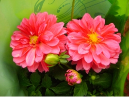 小丽花的颜色有多少种:有大红、紫红、墨红等等