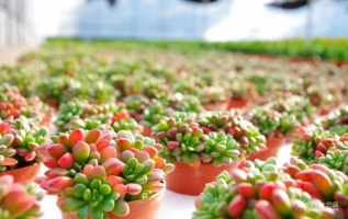 虹之玉的养殖方法:喜温暖及昼夜温差明显的环境