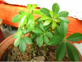 鸭掌木的扦插:应避开盛夏和寒冬