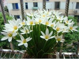 葱莲(葱兰)的养殖方法和注意事项