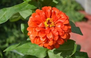 7种在秋天开放的橙色花朵:百日菊,金凤花,孔雀草