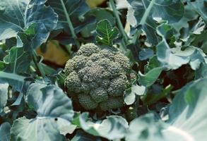 西蘭花/花椰菜的養殖方法和注意事項:播種移植養護