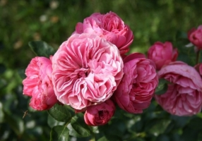 欧月的品种介绍:进口玫瑰的统称