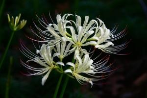 白花石蒜的養殖方法和注意事項:喜濕潤耐干旱