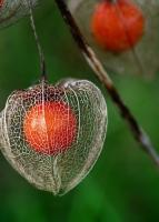 酸浆/姑娘果/灯笼果的养殖方法与注意事项