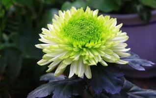 冬天怎么養護和修剪菊花:留根存芽,修剪別留手