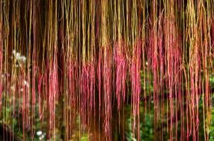 锦屏藤养殖方法与注意事项:一帘幽梦怎么种植