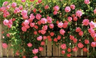 藤本月季的养殖方法与注意事项:适当修剪花更繁